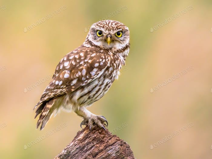 Little Owl perched on log