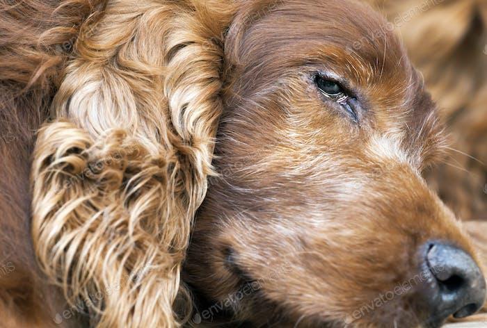 Old Irish Setter dog
