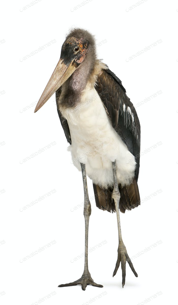 Portrait of Marabou Stork, Leptoptilos crumeniferus, 1 year old
