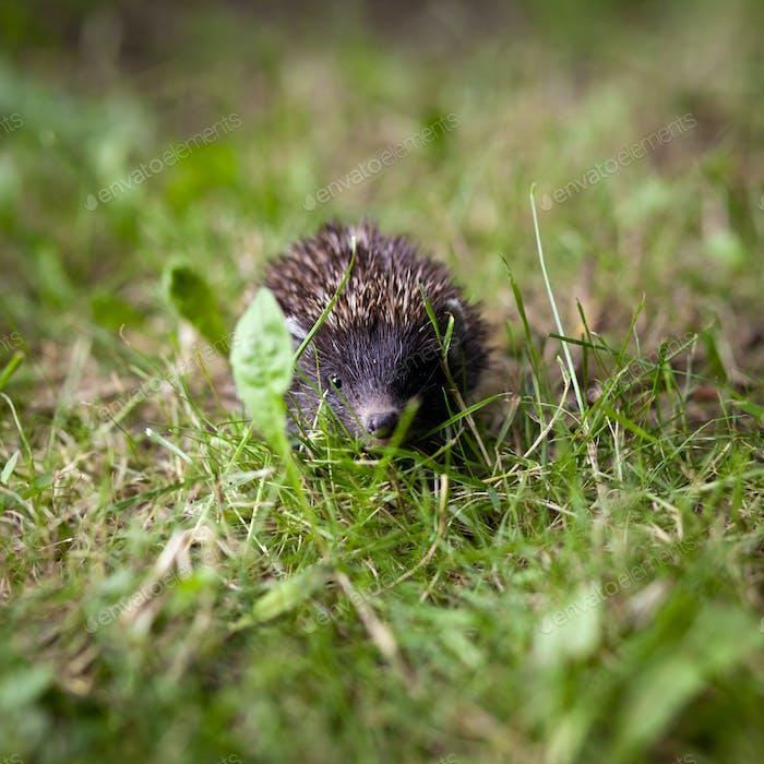 Baby European Hedgehog (Erinaceus europaeus) sniffing in grass,