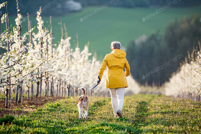 A rear view of senior woman with a pet dog on a walk in spring orchard