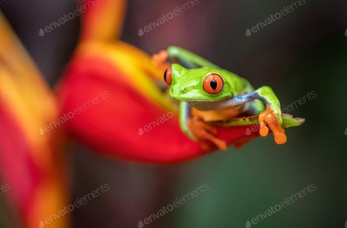 Rotäugiger Baumfrosch in Costa Rica