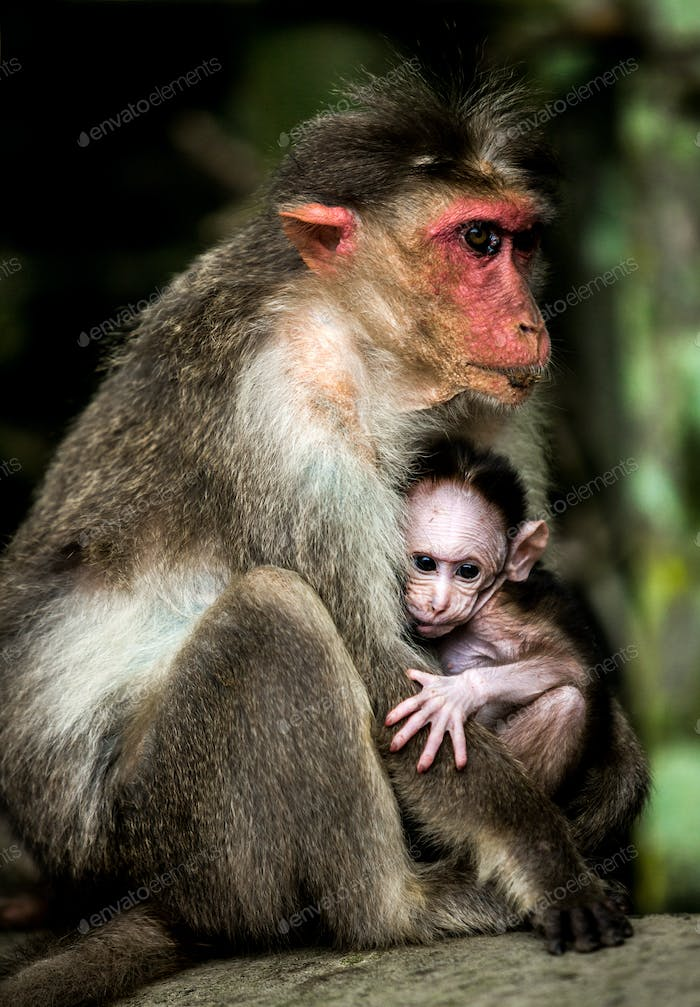 Baby monkey - Macacus mulatta also called the rhesus monkey
