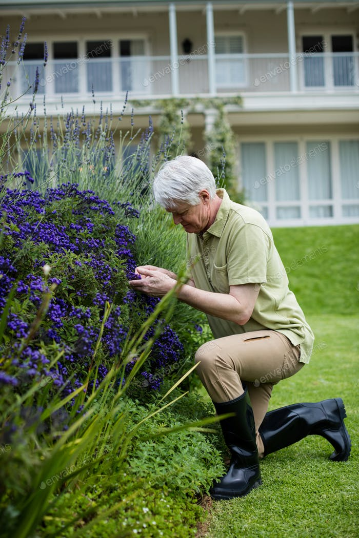 Senior man checking lavender