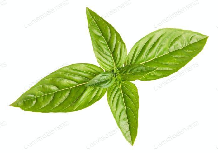 Basil isolated on white