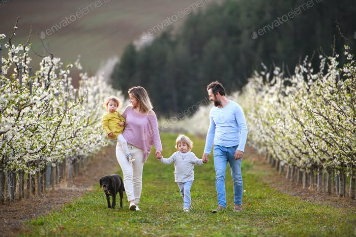 Family with two small children and dog walking outdoors in orchard in spring