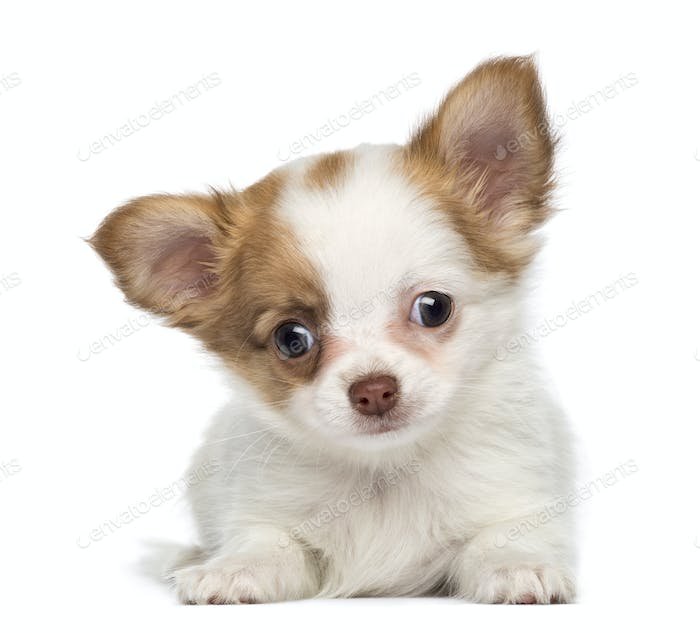Chihuahua Puppy, 2 months old, lying, isolated on white