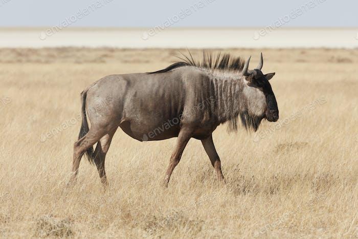 Gnu, or Blue Wildebeest, Connochaetes taurinus, walking through grassland.