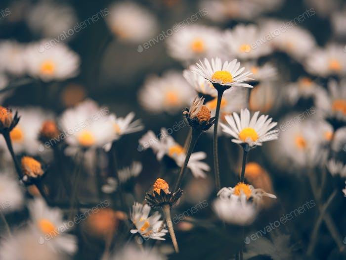 Kamillenblüten macr auf Sping Wiese