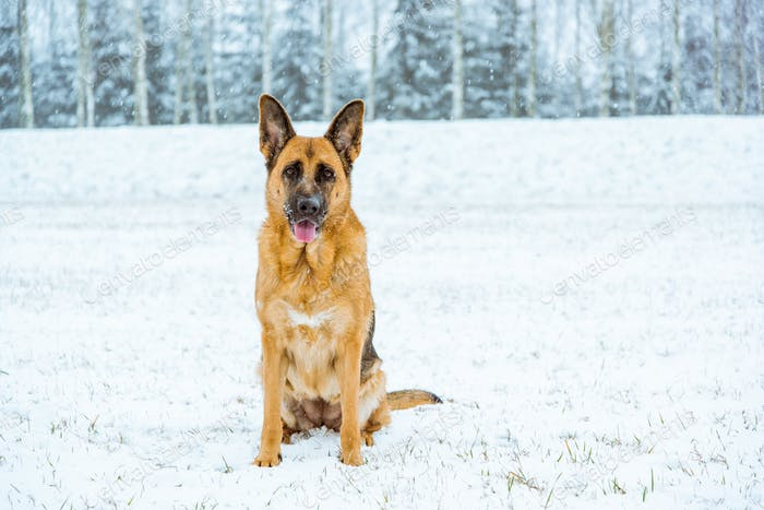 German shepherd dog possing outdoor at winter