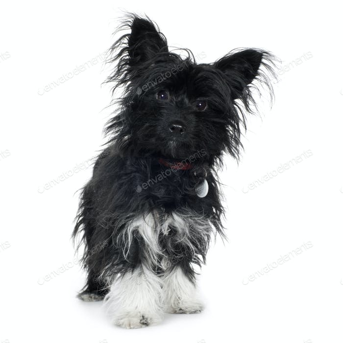 crossbreed (7 months) Yorkshire terrier and papillon