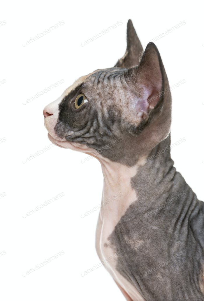 Close up of a Sphynx kitten profile, isolated on white