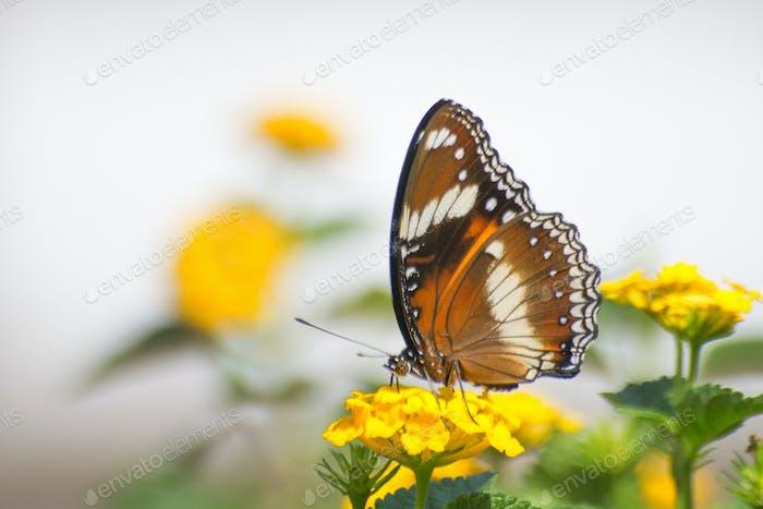 Große Eggfly Schmetterlinge sitzen auf einer Blume