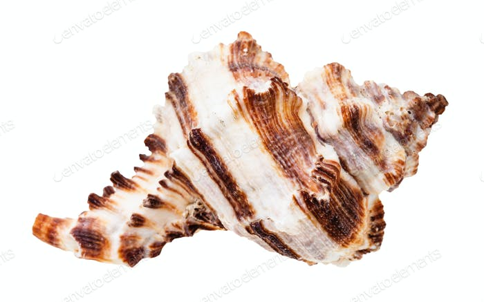 brown striped shell of muricidae mollusc isolated