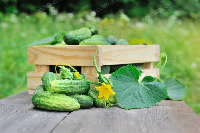Fresh cucumbers on the wooden table outdoor