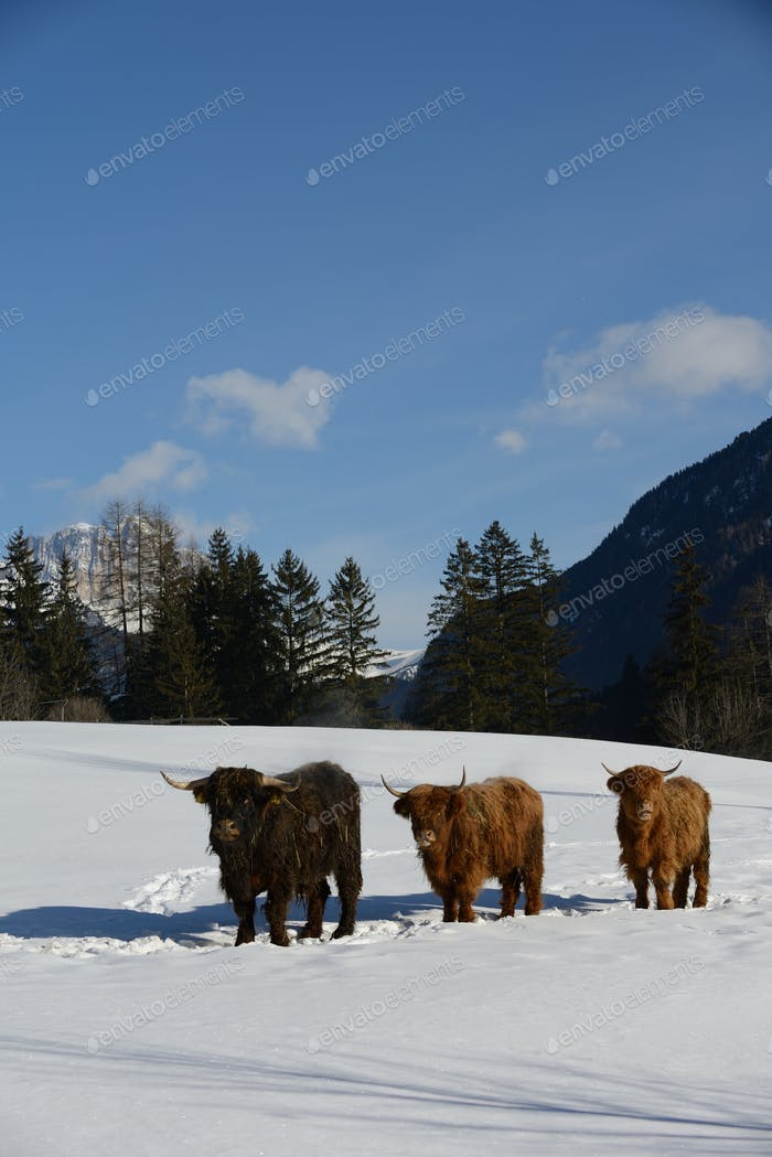 cow animal at winter