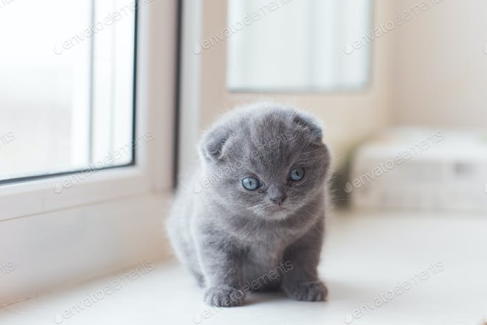 Scottish Fold small cute kitten