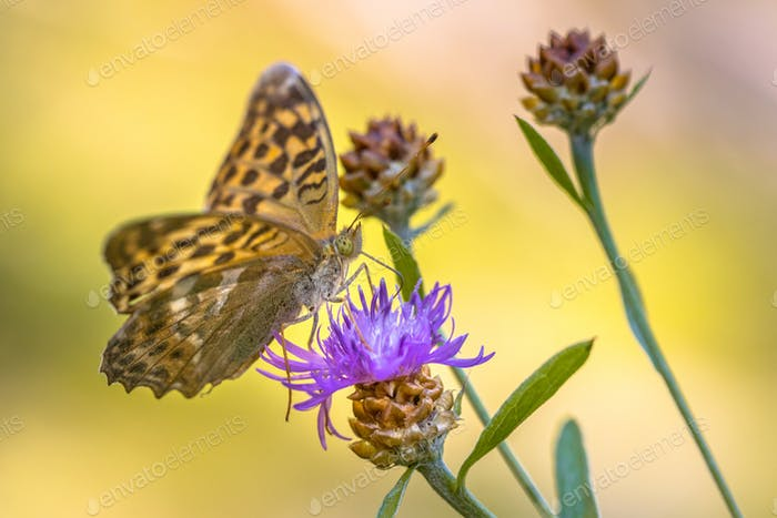Silver washed fritillary on Brown Knapweed flower