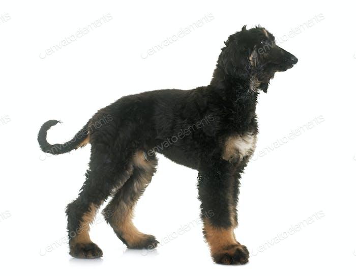 puppy afghan hound