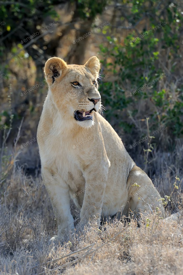 Close lion in National park of Kenya
