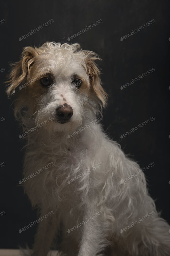 Beautiful mixed breed dog sitting on dark gray background waiting to be adopted. Dog for adoption