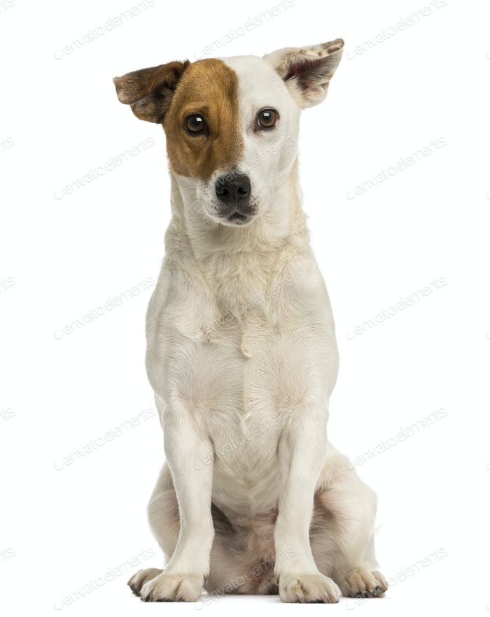 Front view of a Jack russel terrier sitting, looking at the camera, isolated on white