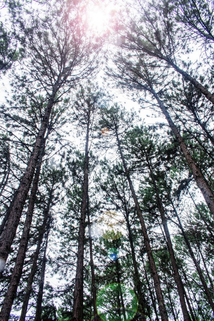 Pine trees with sunlight