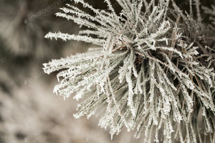 Pine branch in hoarfrost on a cold day.