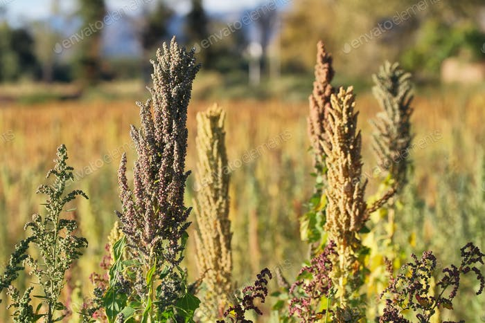 Quinoa-Plantage (Chenopodium quinoa)