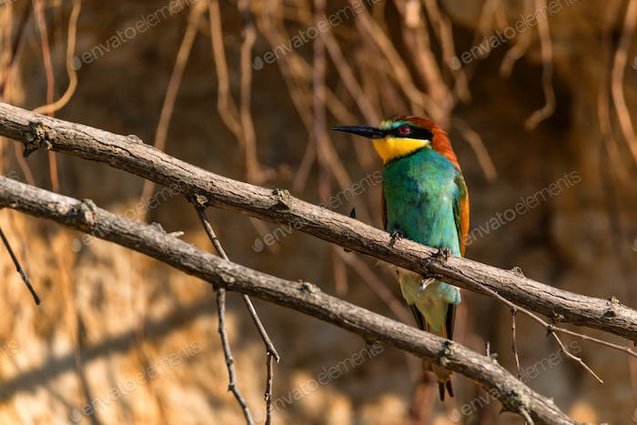 Exotic bird European bee-eater or Merops apiaster