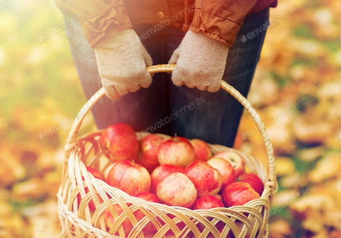 close up of woman with apples in basket at autumn
