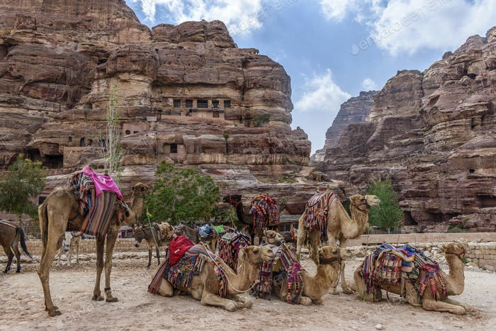 Camels resting in the valley of red sandstone cliffs, and Nabataean rock caves and temples at Petra,