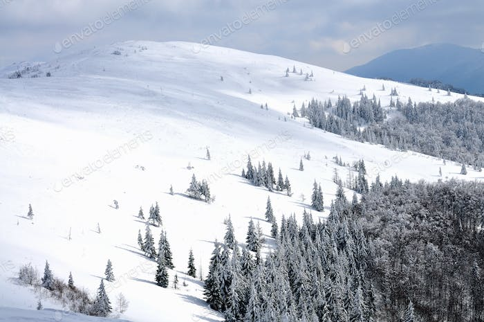 Hill, spruce and pine trees covered in snow