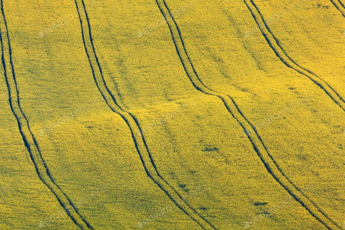 Beautiful yellow rapeseed fields in South Moravia