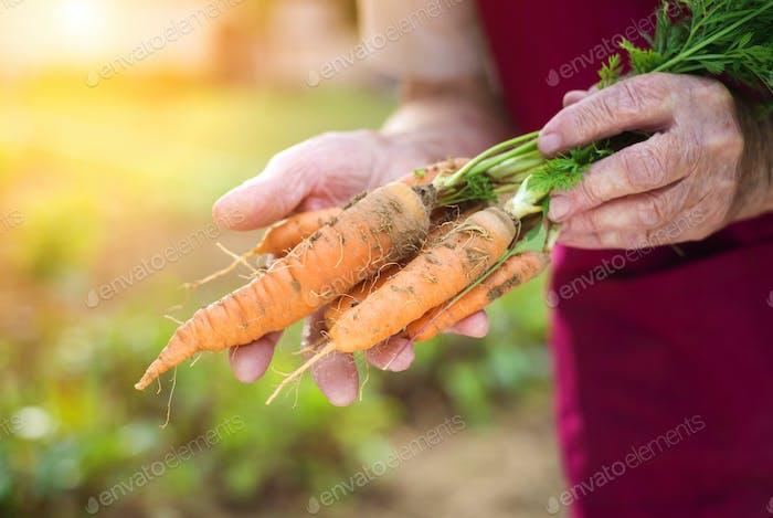 Senior Frau Ernte Karotten