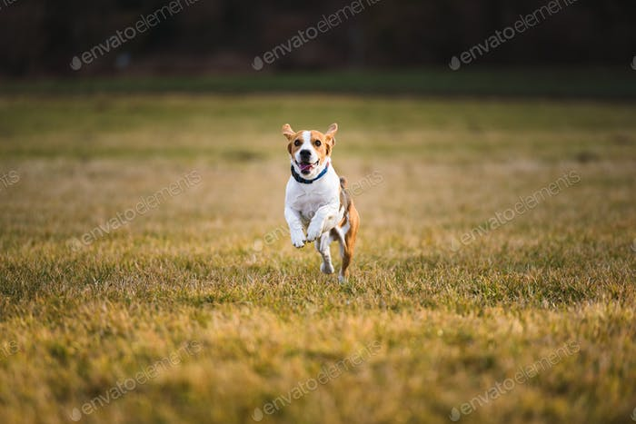 Dog Beagle running and jumping with tongue out