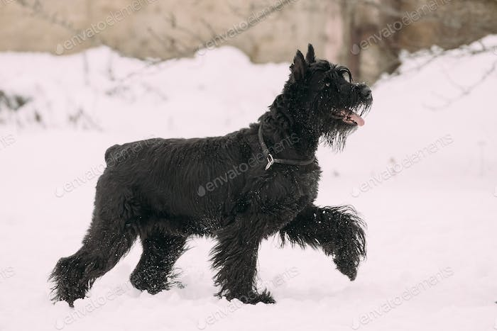 Funny Young Black Giant Schnauzer Or Riesenschnauzer Dog Walking