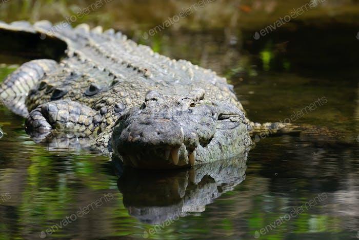 Big crocodile in National park of Kenya