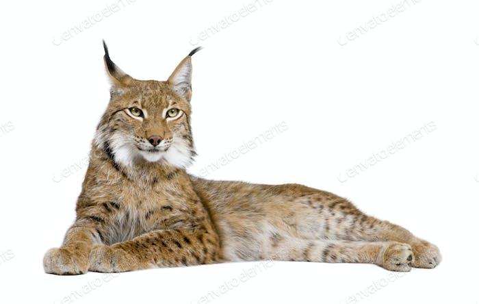 Eurasian Lynx - Lynx lynx (5 years old)