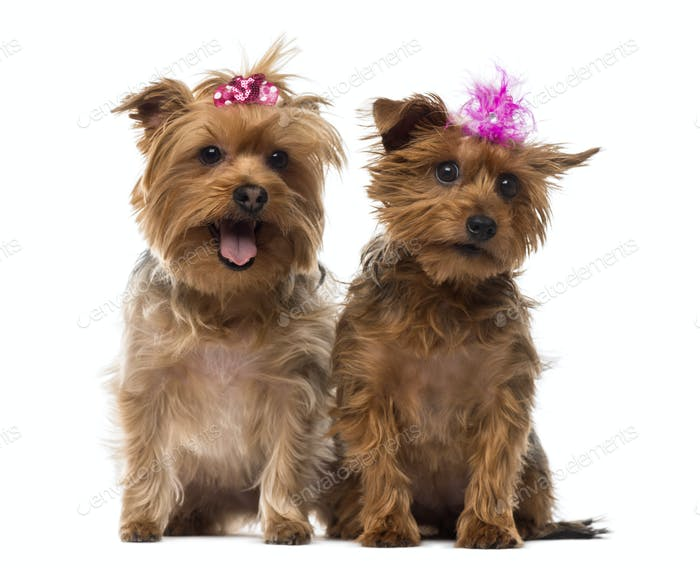 Two Yorkshire Terrier wearing bows, panting, sitting, isolated on white