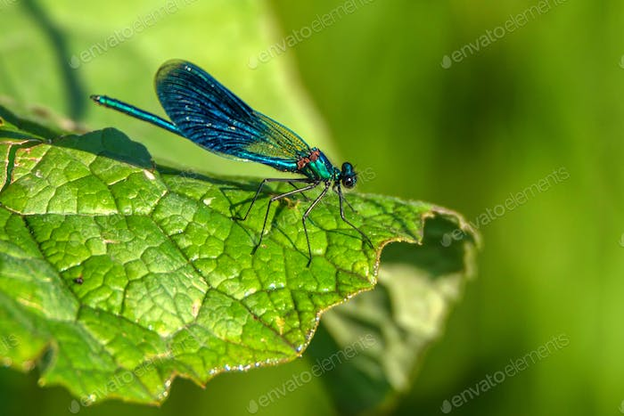 Male banded demoiselle on green leaf