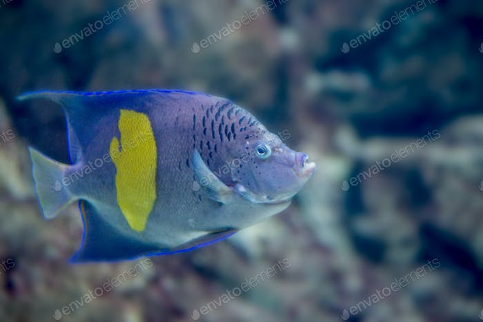 Yellowband angelfish or Pomacanthus maculosus