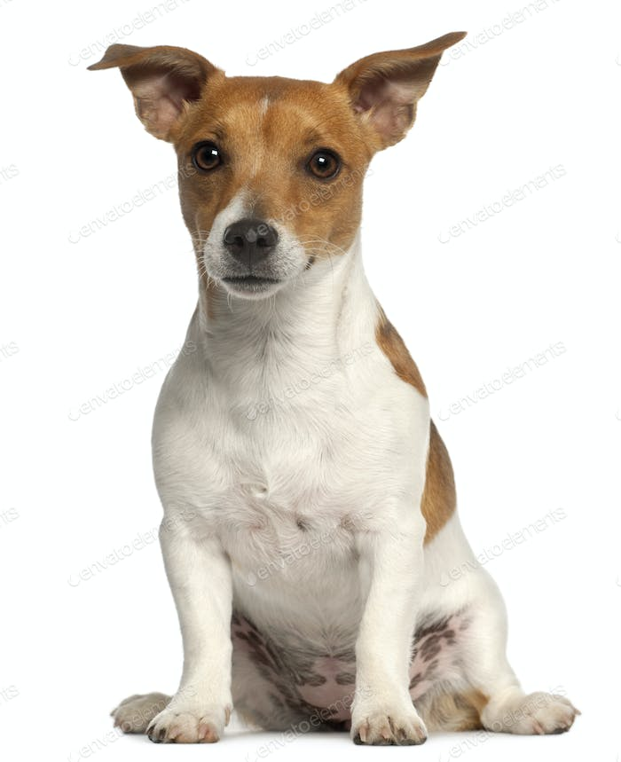 Jack Russell Terrier, 10 months old, sitting in front of white background