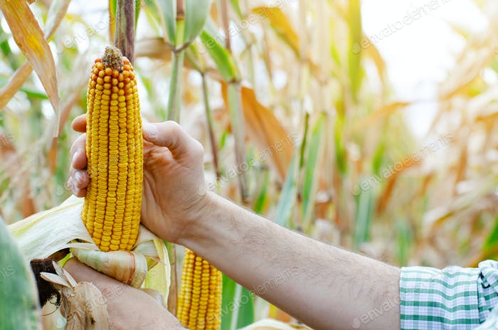 Mazorcas de maíz seco peladas en tallos de maíz en la mano del agricultor