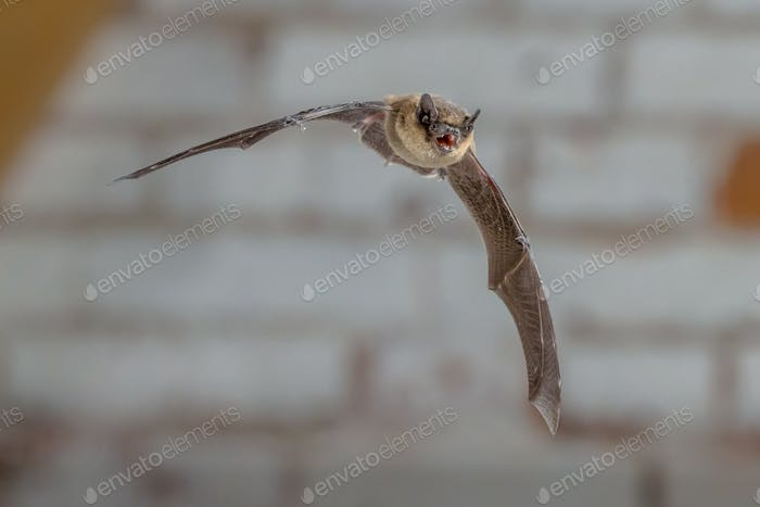 Flying Pipistrelle bat against white brick wall