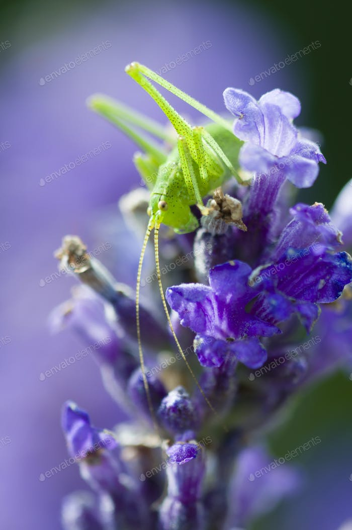 grasshopper on lavender flowers