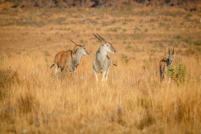 Herd of Eland standing in the high grass.
