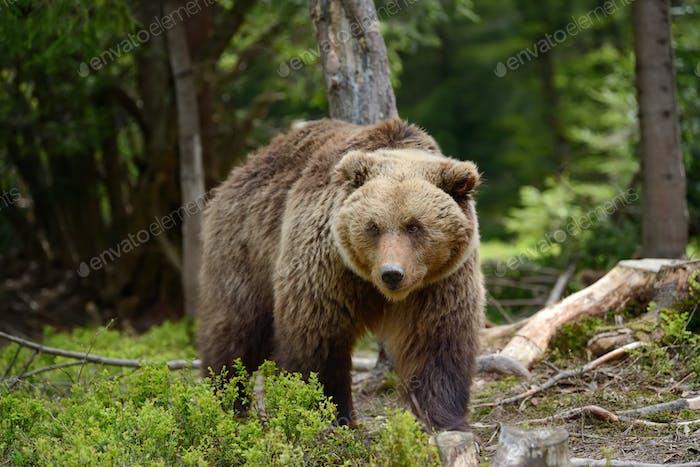 Großer Braunbär im Wald