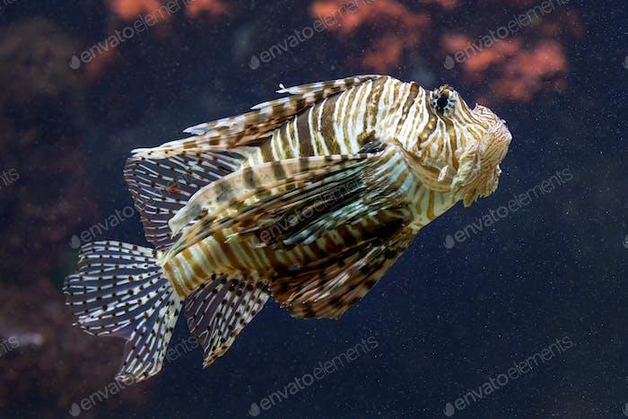 Exotic lionfish close-up