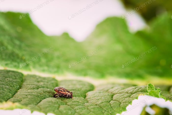 Dermacentor Reticulatus On Green Leaf. Also Known As The Ornate Cow Tick, Ornate Dog Tick, Meadow